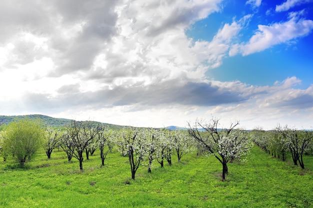 Jardim de macieiras de flor na primavera. sol no céu.
