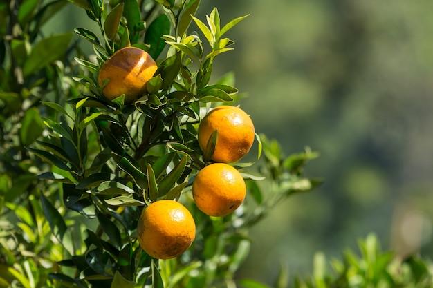 Jardim de plantação de laranja