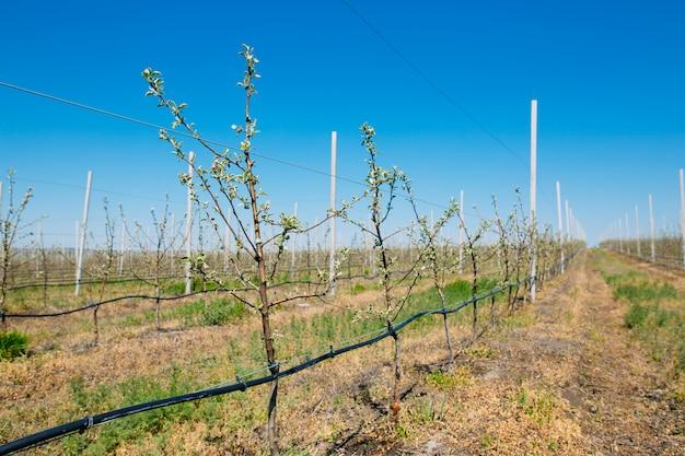 Jardim de pomar de maçã na primavera com fileiras de árvores com flor.