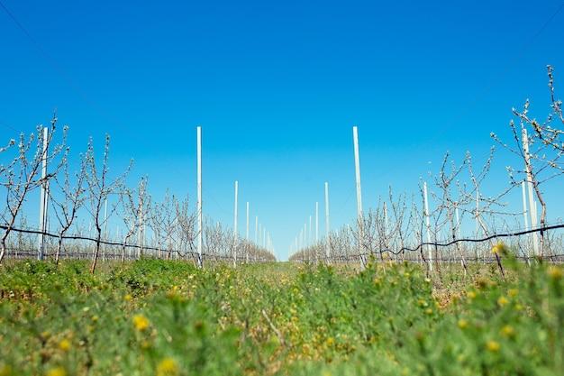 Jardim de pomar de macieiras na primavera com fileiras de árvores floridas