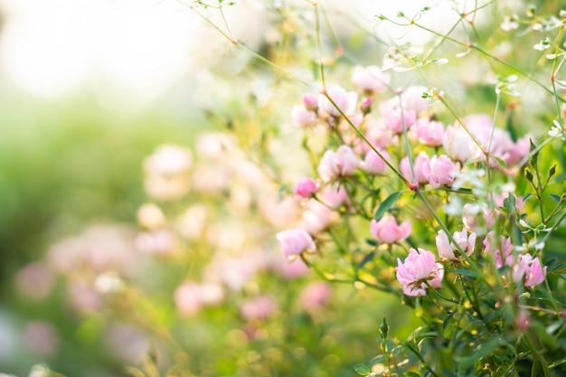 Jardim de rosas cor de rosa com desfoque de fundo