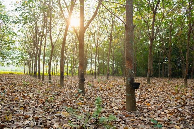Jardim de seringueira na ásia. látex natural extraído da seringueira. o copo de plástico preto é usado para medir o látex da árvore.