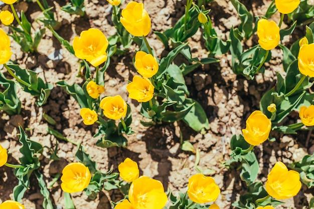 Jardim de tulipa colorida na primavera