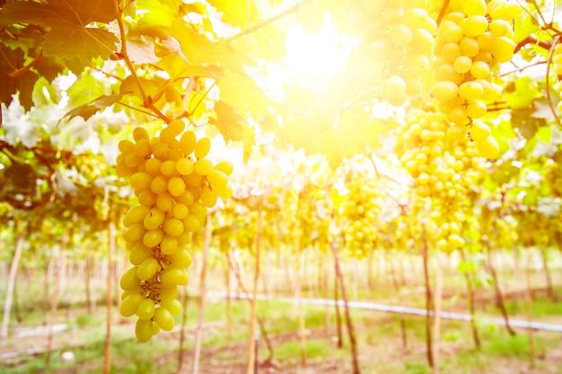 Jardim de uvas com sol pela manhã.
