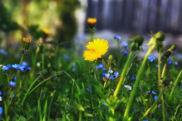 Jardim dente-de-leão primavera verão fundo