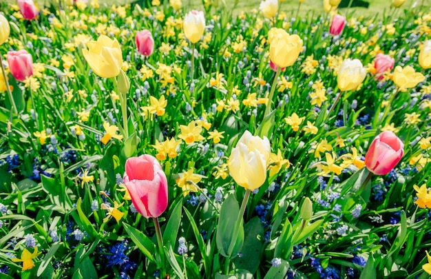 Jardim em keukenhof, tulipas e narcisos na primavera. países baixos