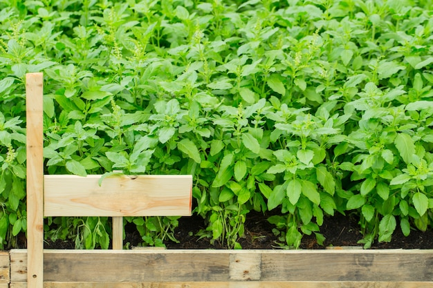 Jardim erval home com etiqueta, planta limpa nontoxic, vegetais orgânicos para o alimento.