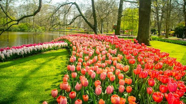 Jardim keukenhof lindo floral na holanda.