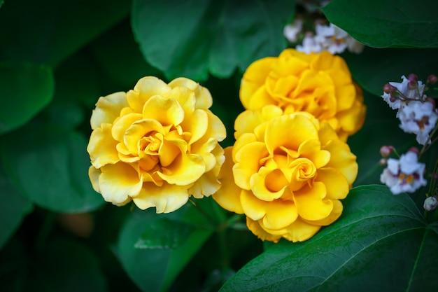 Jardim lindo de verão com rosas florescendo.