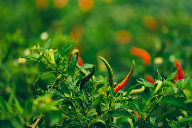 Jardim orgânico de pimenta