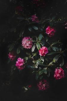 Jardim secreto, flores de azaléia rosa, rododendro, tesouros naturais. fundo escuro da natureza, textura leve mística