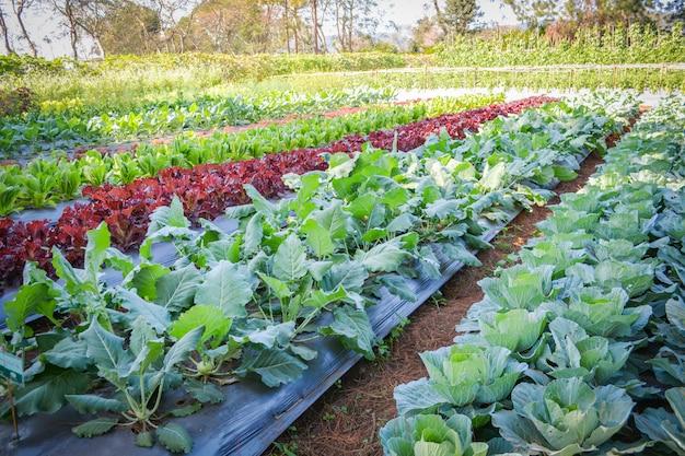 Jardim vegetal verde campo de couve chinesa alface de carvalho verde e vermelho salada em vegetais orgânicos