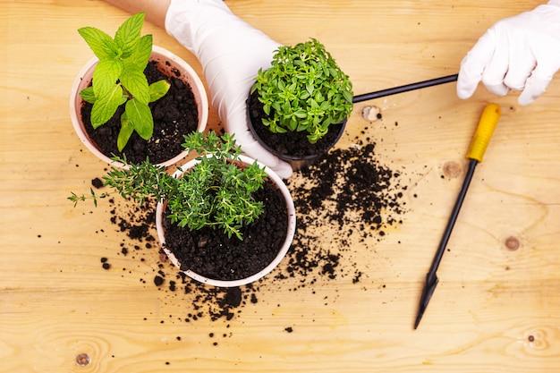 Jardinagem em casa. mãos com luvas plantadas ervas