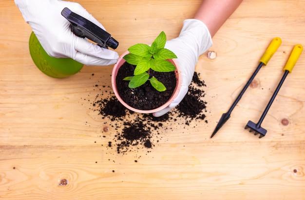 Jardinagem em casa. mãos com luvas, plantando um arbusto de hortelã em uma panela
