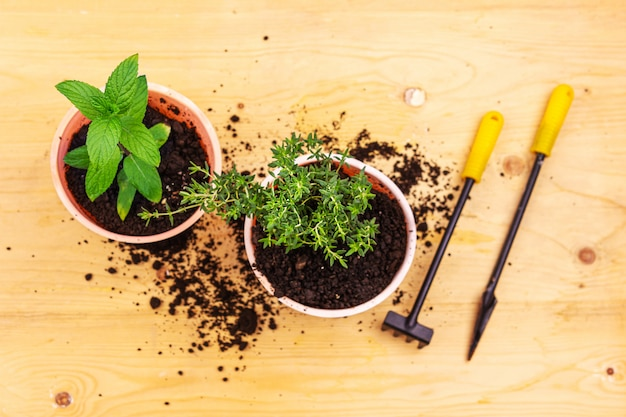 Jardinagem em casa. vista superior do arbusto de hortelã e manjericão em uma panela e ferramentas de jardinagem na placa de madeira