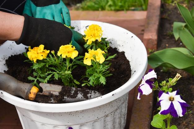 Jardinagem. plantio de mudas de flores de jardim. flores decorativas no jardim