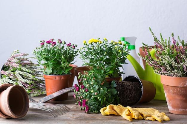 Jardinagem, processo de transplante durante a permanência em casa. plantar e cultivar flores de outono, passatempo ecológico e conceito de lazer.