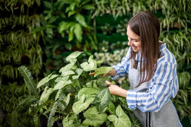 Jardineira cortando folhas de syngonium usa tesoura trabalhando na vegetação vertical da estufa