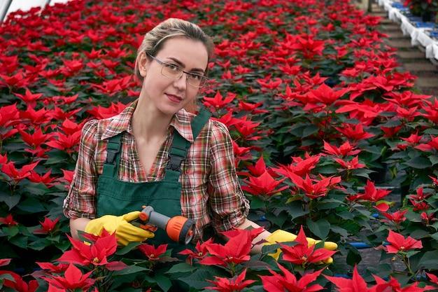 Jardineira em estufa se preparando para regar flores de poinsétia com bico de spray