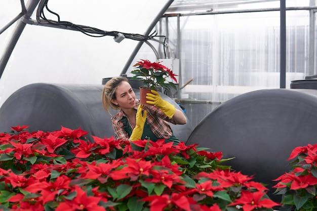 Jardineira em uma estufa com poinsétias vermelhas examina cuidadosamente um dos vasos de flores