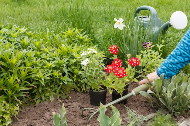 Jardineira está plantando flores de verbena vermelha e branca em um canteiro de jardim usando um pequeno ancinho