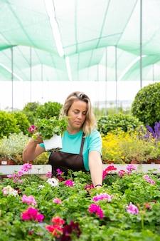 Jardineira loira trabalhando com plantas pelargônio em estufa
