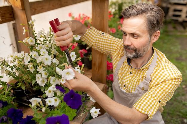 Jardineiro adulto barbudo em roupas de trabalho, cortando petúnias brancas com tesoura de poda, enquanto trabalha no jardim