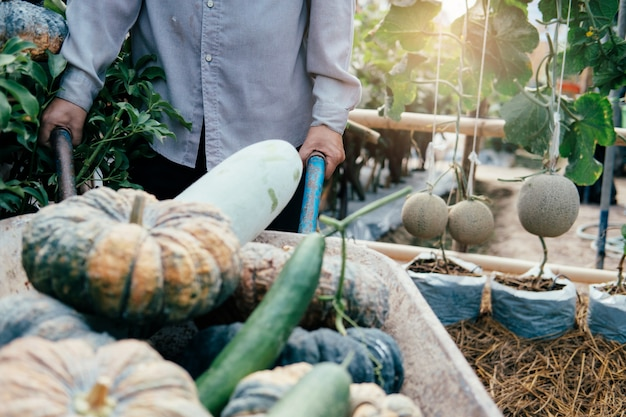 Jardineiro colheita legumes do jardim.