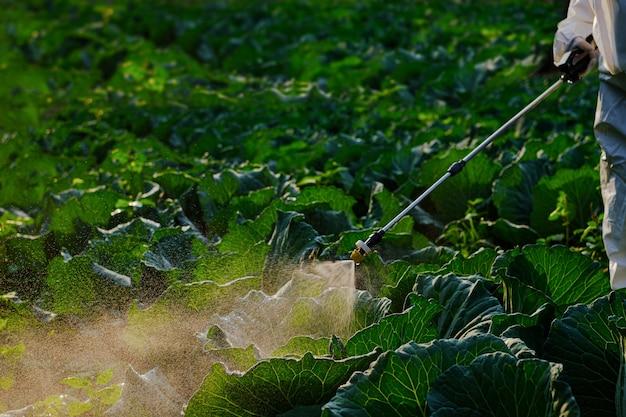 Jardineiro com uma roupa de proteção pulveriza fertilizante em uma enorme planta de repolho