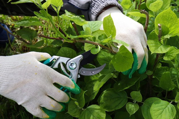 Jardineiro cortando uma sebe de hortênsia com um podador de jardim, poda de arbustos próximos, poda de um arbusto de hortênsia