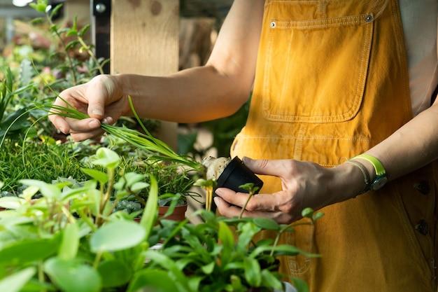 Jardineiro de estufas trabalha com plantas de casa em estufa de viveiro de plantas
