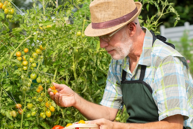 Jardineiro de homem colhendo tomates na horta