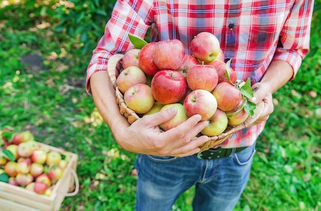 Jardineiro de homem pega maçãs no jardim no jardim
