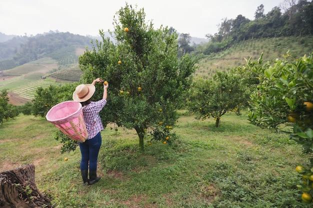 Jardineiro de mulher asiática com a cesta nas costas colhendo uma laranja com tesoura no jardim do campo de laranjas pela manhã.