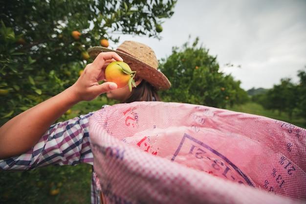 Jardineiro de mulher asiática com a cesta nas costas, colhendo uma laranja para venda no jardim do campo de laranjas pela manhã.