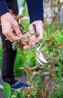 Jardineiro de poda de rosas no jardim. foco seletivo. natureza.