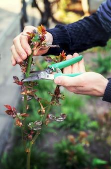 Jardineiro de poda de rosas no jardim.