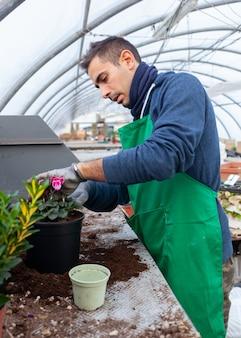 Jardineiro em um ciclame de transplante de estufa para venda.