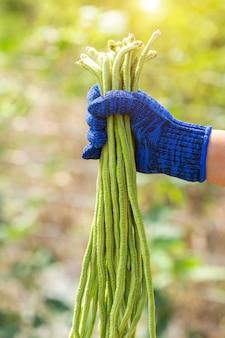Jardineiro, mantendo, fresco, longo, planta feijão, em, jardim vegetal