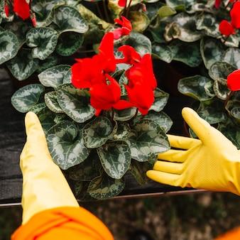 Jardineiro, mão, tocar, flor vermelha, planta
