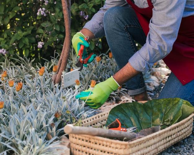 Jardineiro masculino, colhendo a flor com tesouras de podar