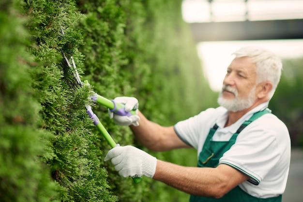 Jardineiro masculino de eldery usando uma tesoura para arbustos.