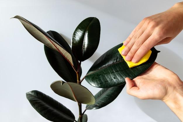 Jardineiro masculino mãos limpando o pó das folhas da planta de casa, cuidando da planta ficus elastic robusta, close-up