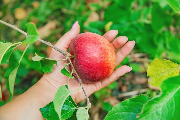Jardineiro mulher pega maçãs no jardim no jardim