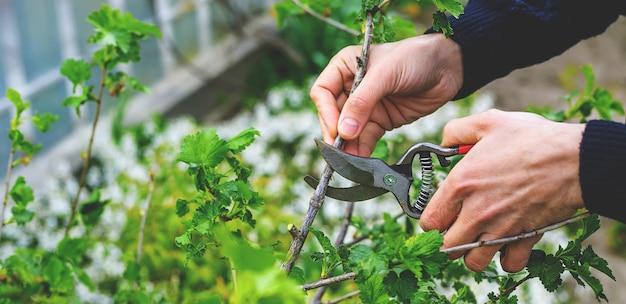 Jardineiro poda arbustos de groselha no jardim. foco seletivo. natureza.