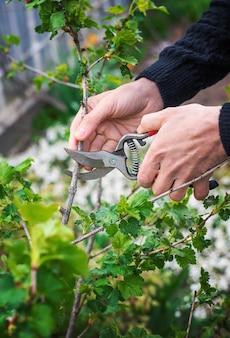 Jardineiro poda arbustos de groselha no jardim.