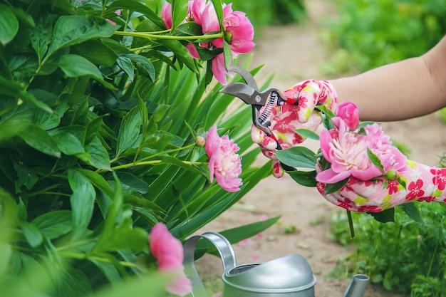 Jardineiro podando flores peônias podadores. foco seletivo.