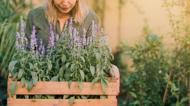 Jardineiro, segurando, madeira, crate, com, lavanda, panela, plantas