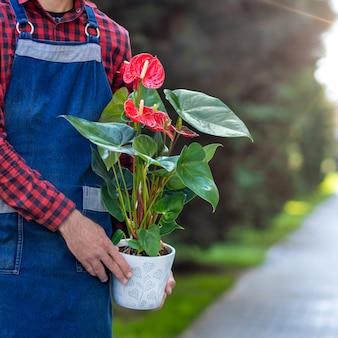 Jardineiro segurando planta de flor laceleaf red anthurium