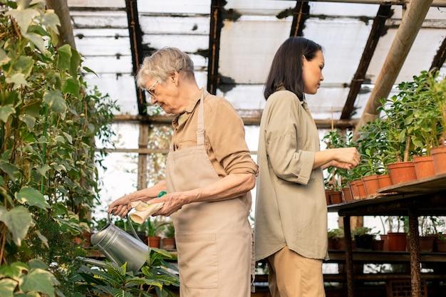Jardineiro sênior em avental regando plantas de lata enquanto mulher asiática examinando folhas de vasos de plantas em estufa